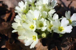 Szártalan kankalin (Primula vulgaris)